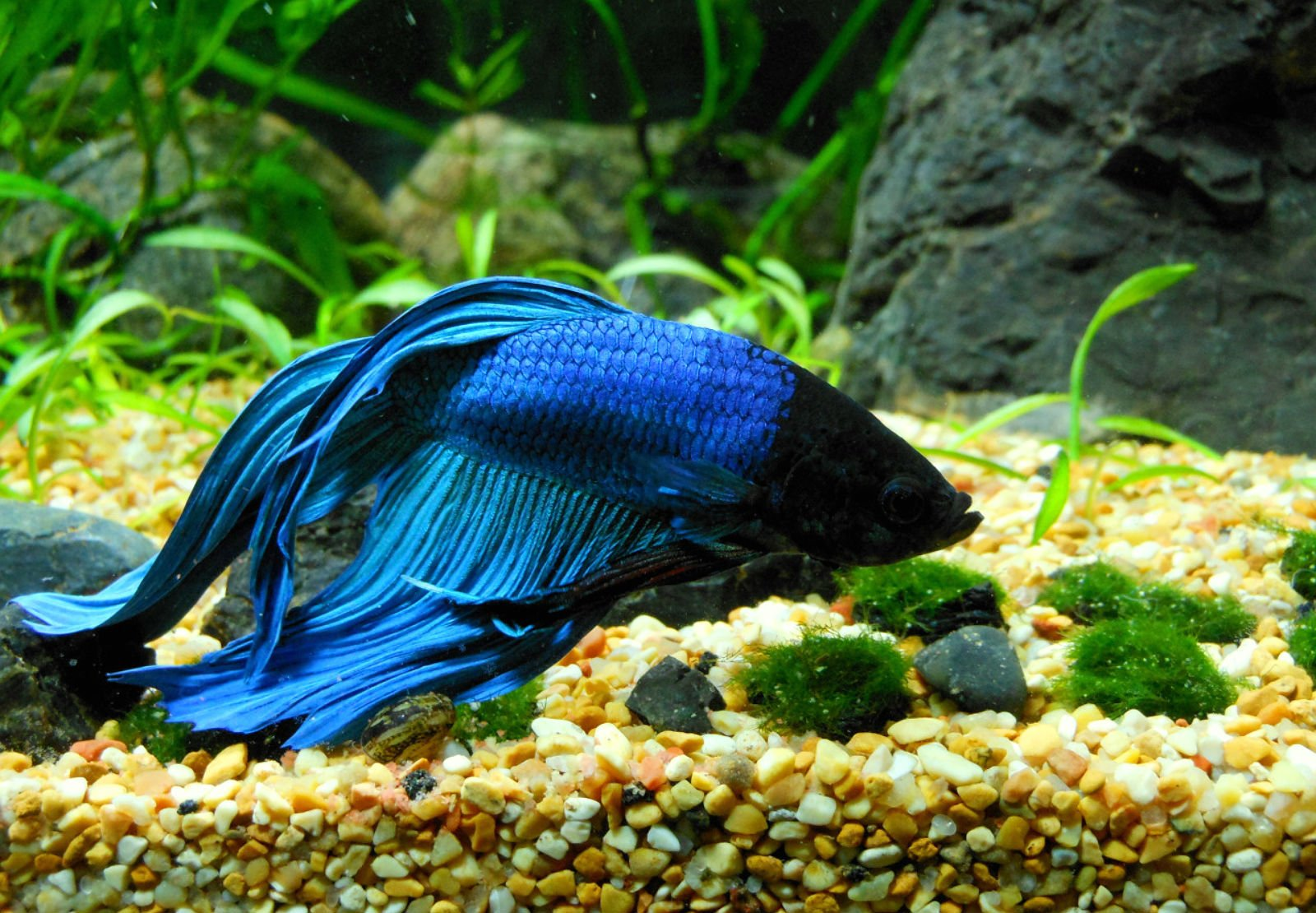 BETTA Siamese Fighting Fish underwater tropical psychedelic wallpaper 1600x1110