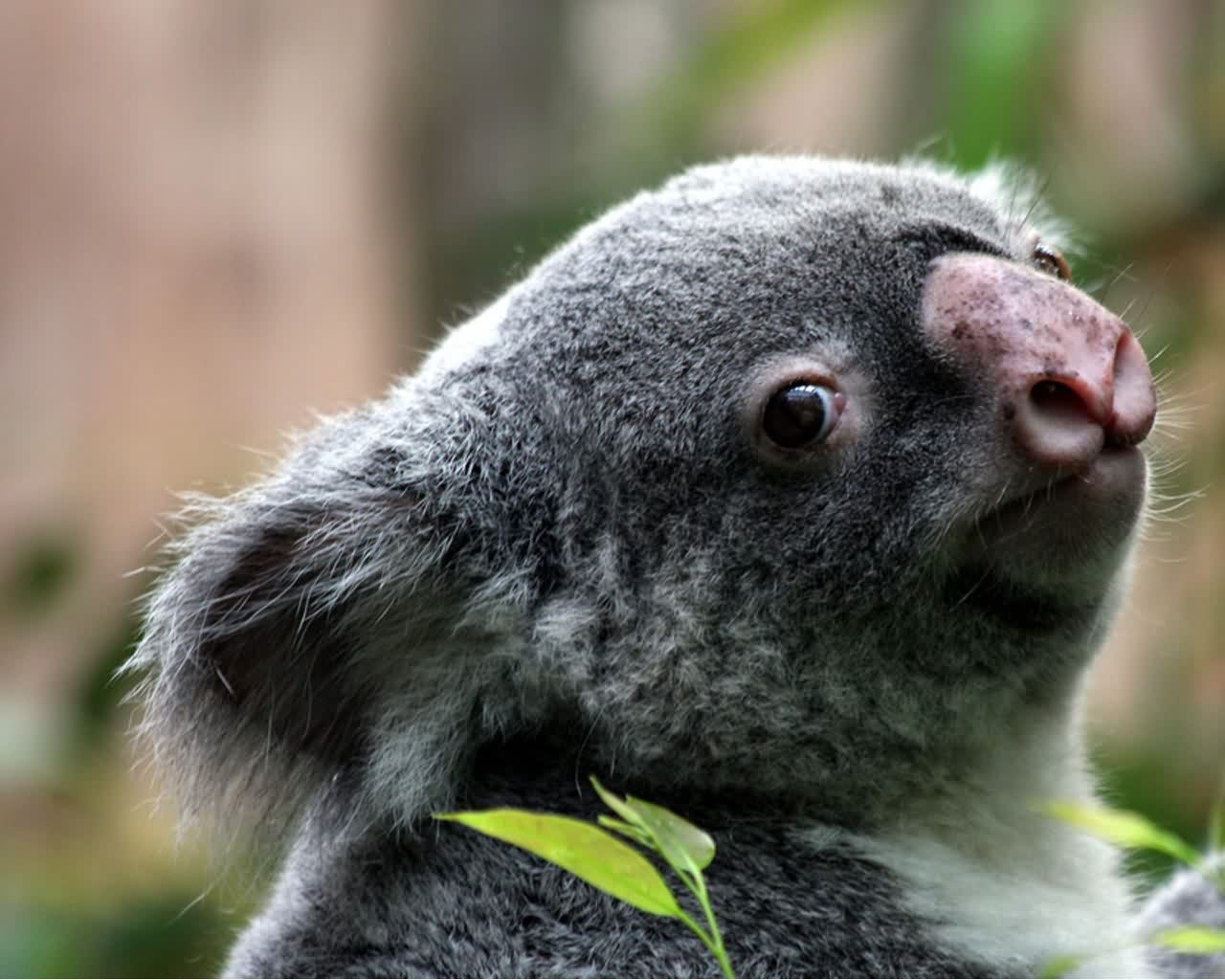 Baby Koala Bear Wallpaper Wallpapers For gt Baby Koala 1280x1024