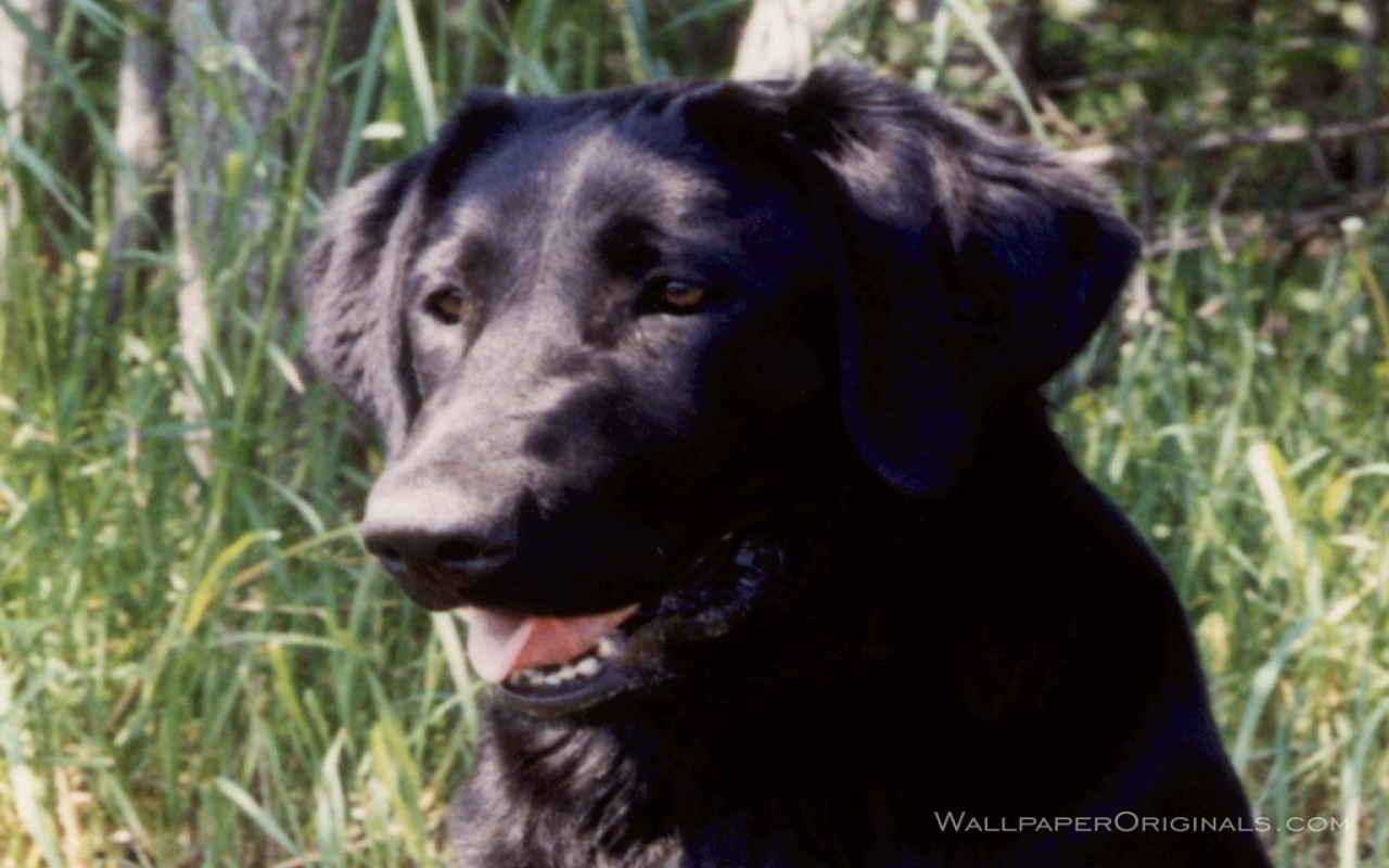 Black Lab   Dogs Wallpaper 13985100 1280x800