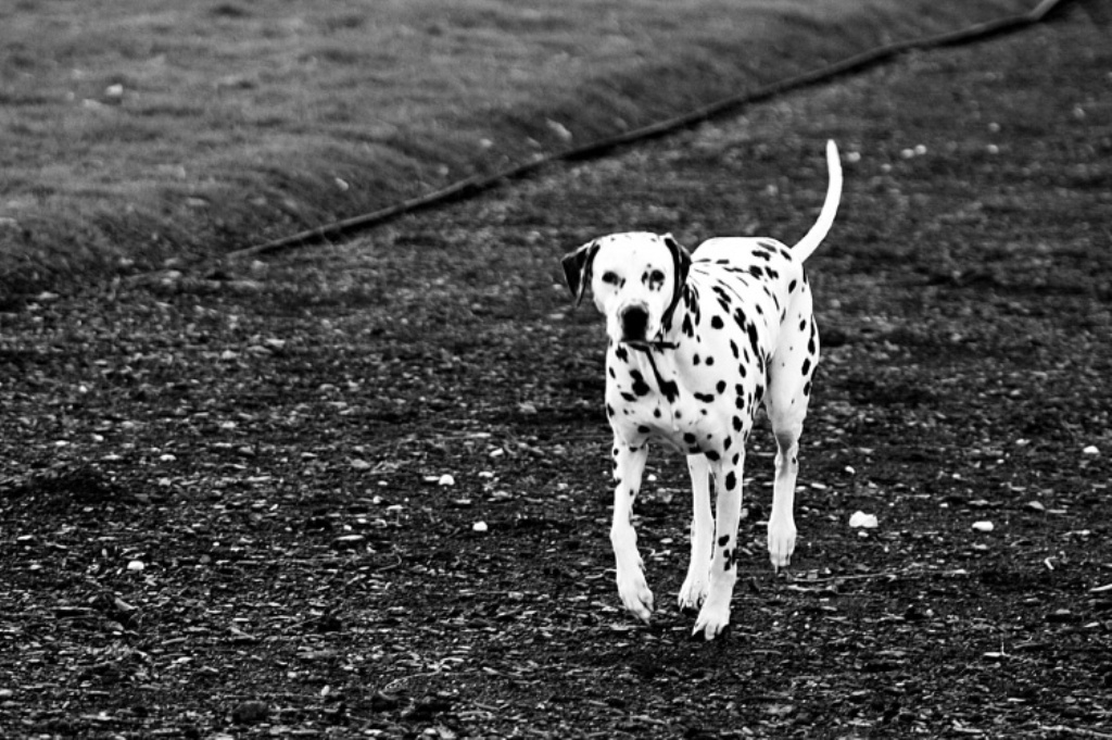 Dalmatian Spots Wallpaper Wallpapersafari