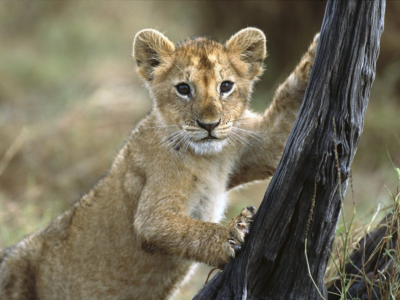 Lion cub Wallpapers 1280x960