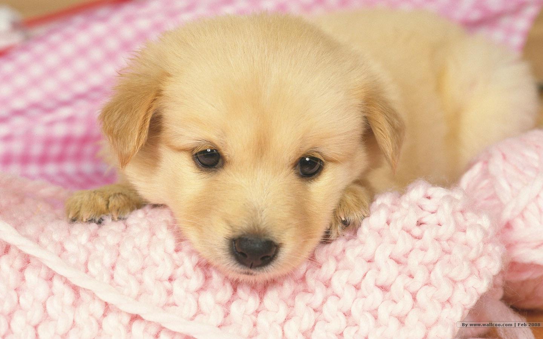 Cute Golden Retriever Puppy 1440x900