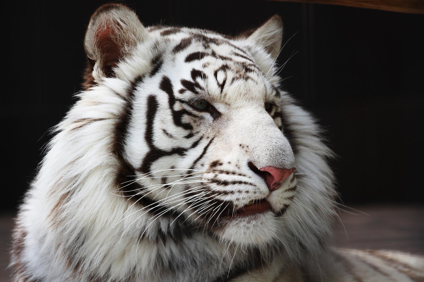 Wallpapers HD White Bengal Tiger Tiger Tiger Hd White 1620x1080