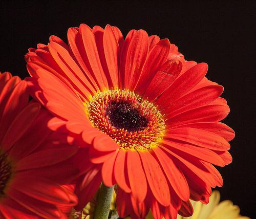 flowers for flower lovers Red daisy flowers desktop wallpapers 500x428