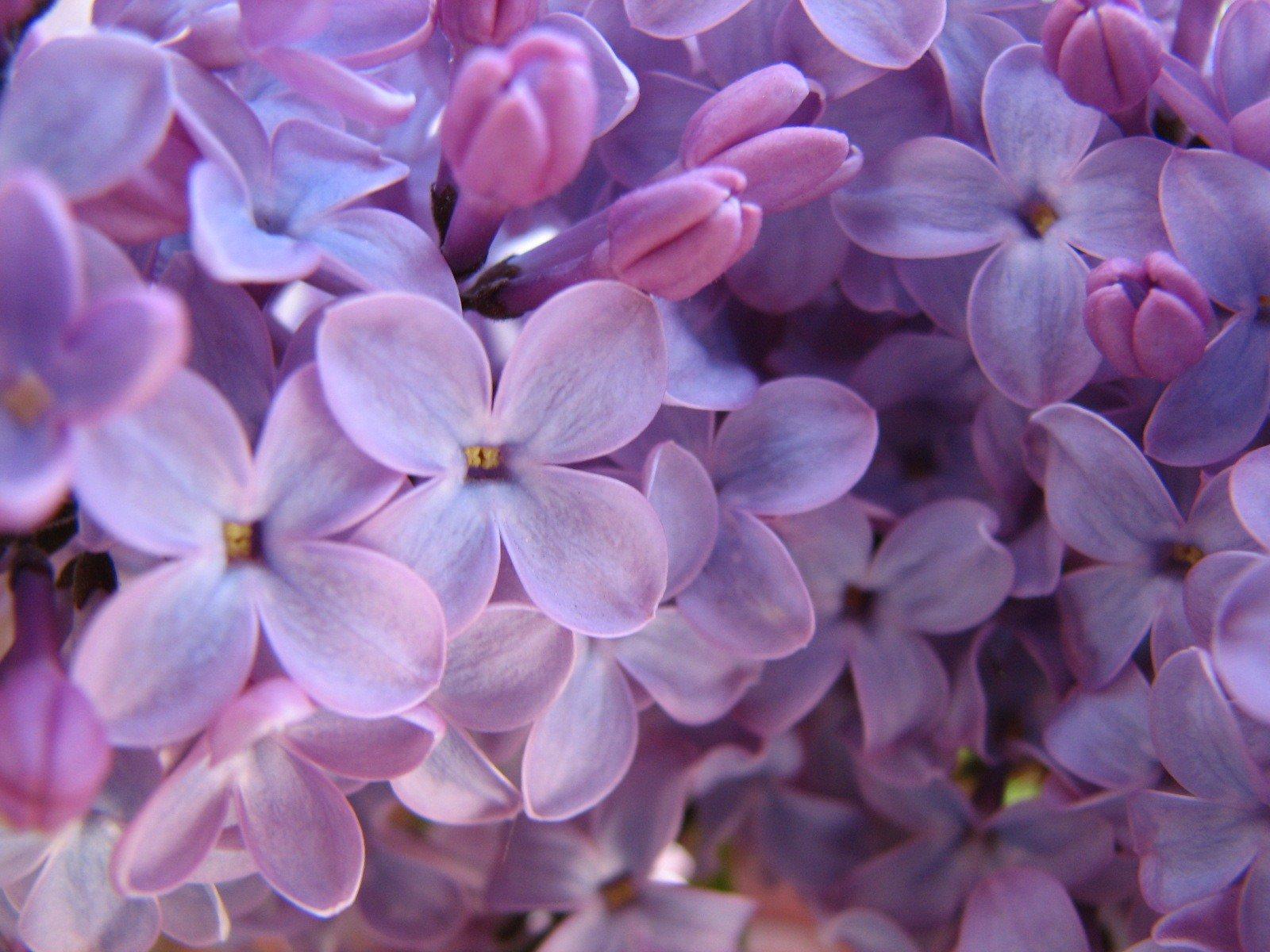 Purple Lilac wallpaper   Spring wallpapers   wallpapers Desktop 1600x1200