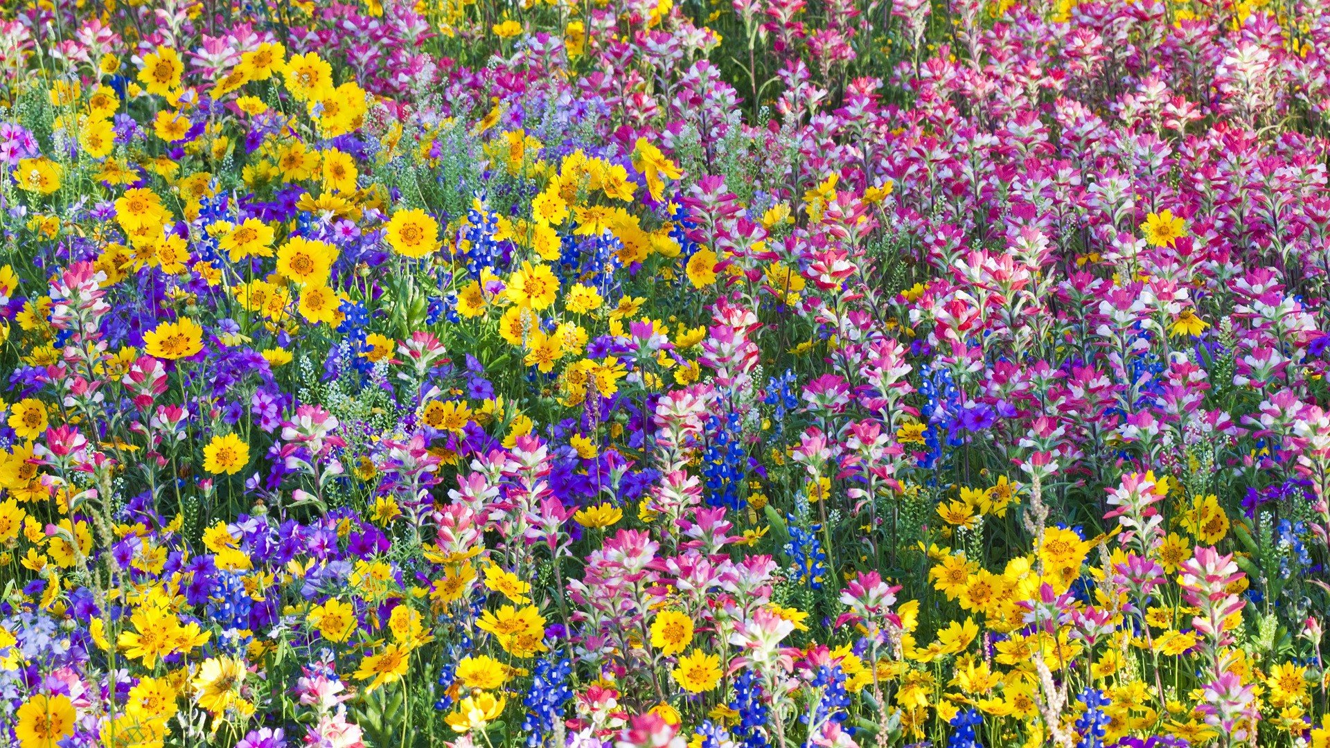 flowers spring Texas wildflowers Bluebells wallpaper background 1920x1080
