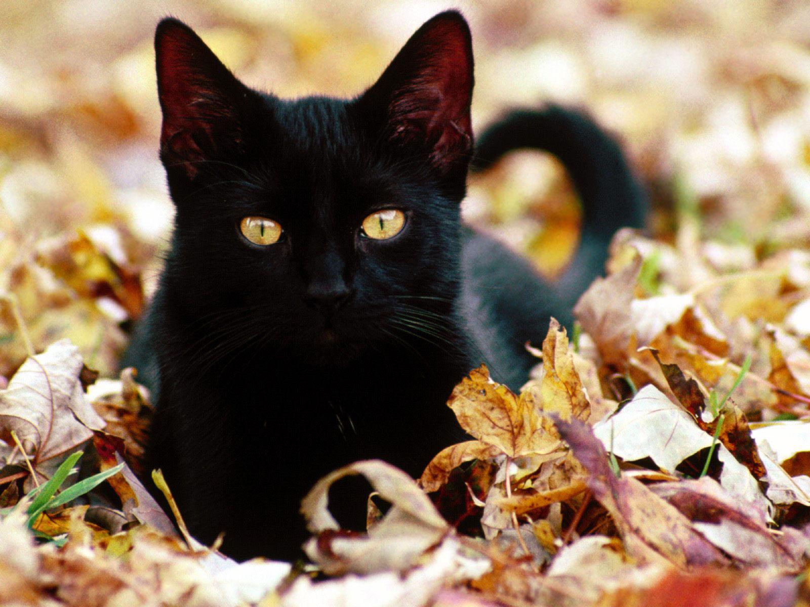 Cute Black Cat Fall Leaves 195971 HD Wallpaper Res 1600x1200 1600x1200