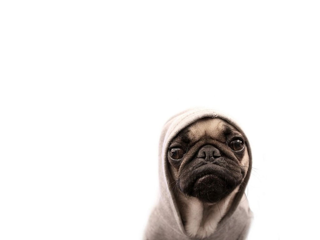 Funny Pug Wallpapers 1024x768