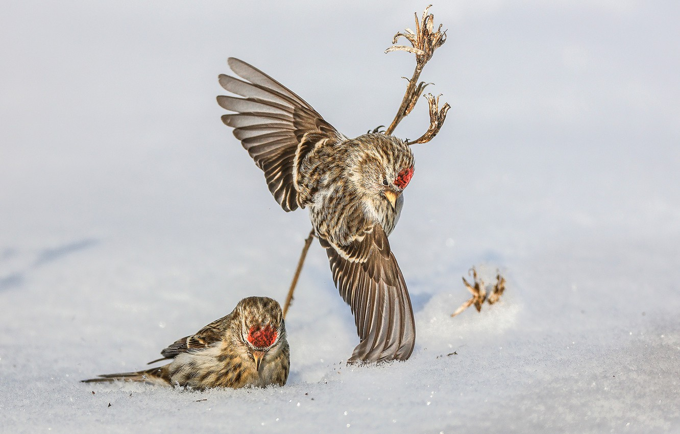 Wallpaper snow birds wings a couple Common Redpoll images for 1332x850
