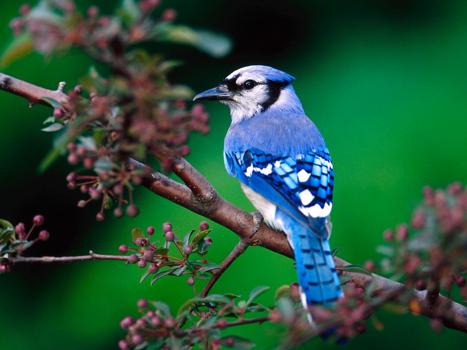 Birds HD widescreen Wallpaper Hd Desktop Wallpaper 1600x1200