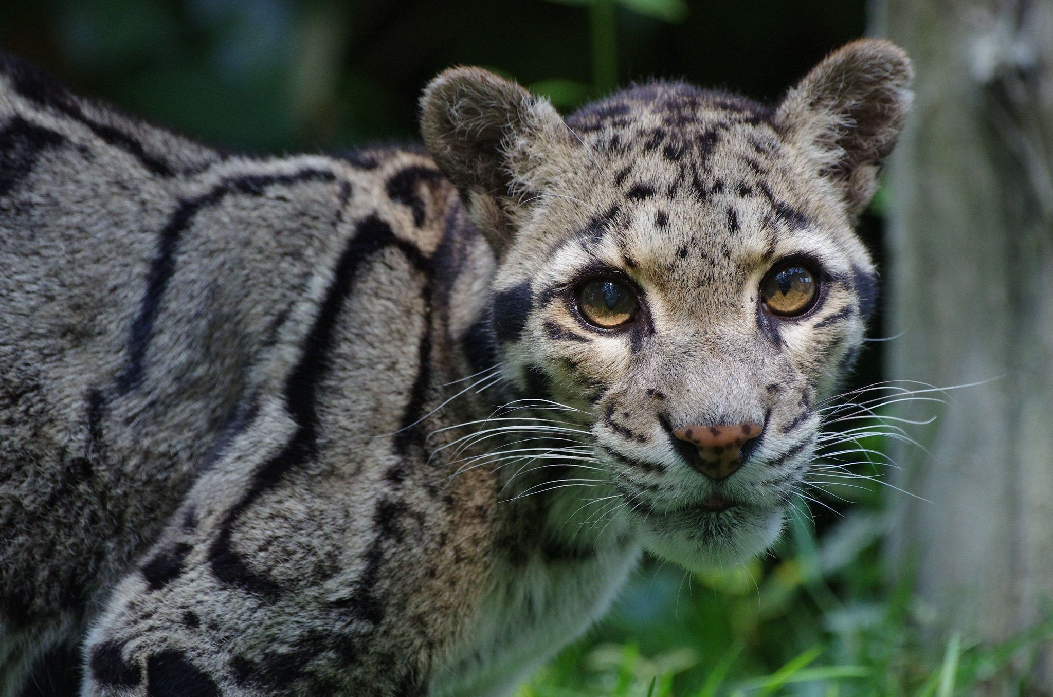 Clouded Leopard Wallpapers Backgrounds 2048x1356