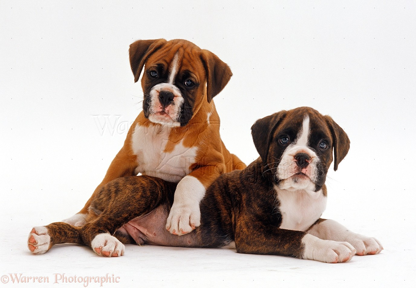 WP24228 Red Boxer puppy 8 weeks old with his brindle half brother 7 1376x952