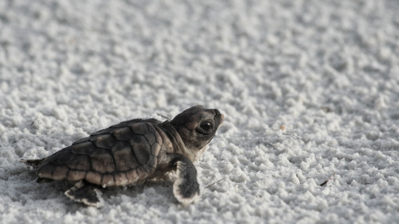 Funnies pictures about Hd Baby Turtle Wallpaper 800x449