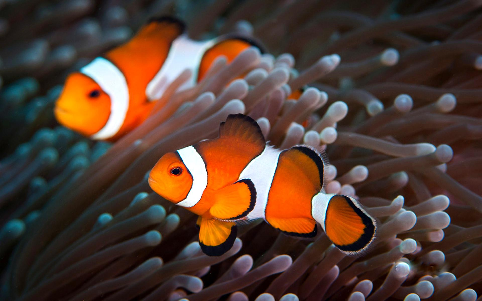 Clown Fish Wallpapers 1920x1200
