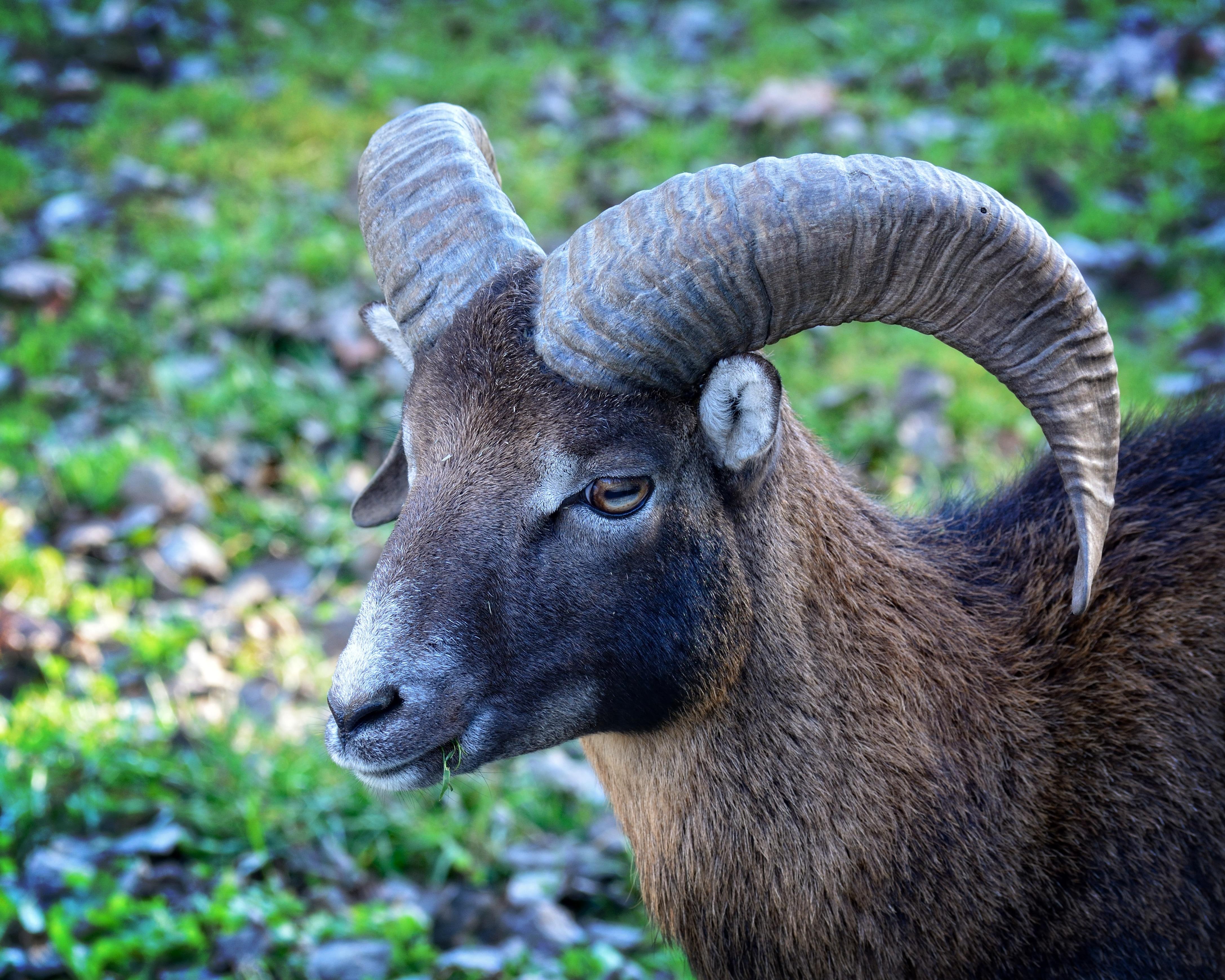 Head Mouflon Ovis Orientalis Musimon one animal animals in the 4349x3479