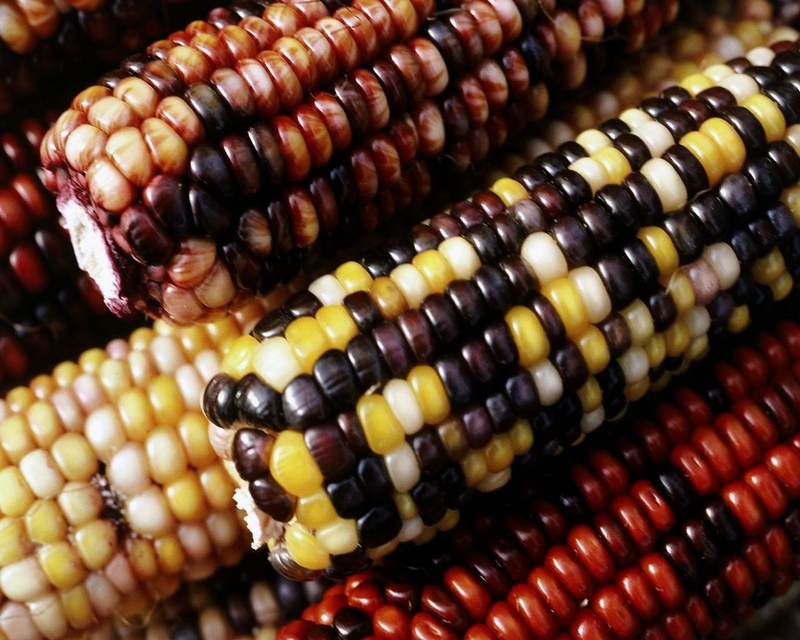 corn corn Nature Other HD Desktop Wallpaper 800x640