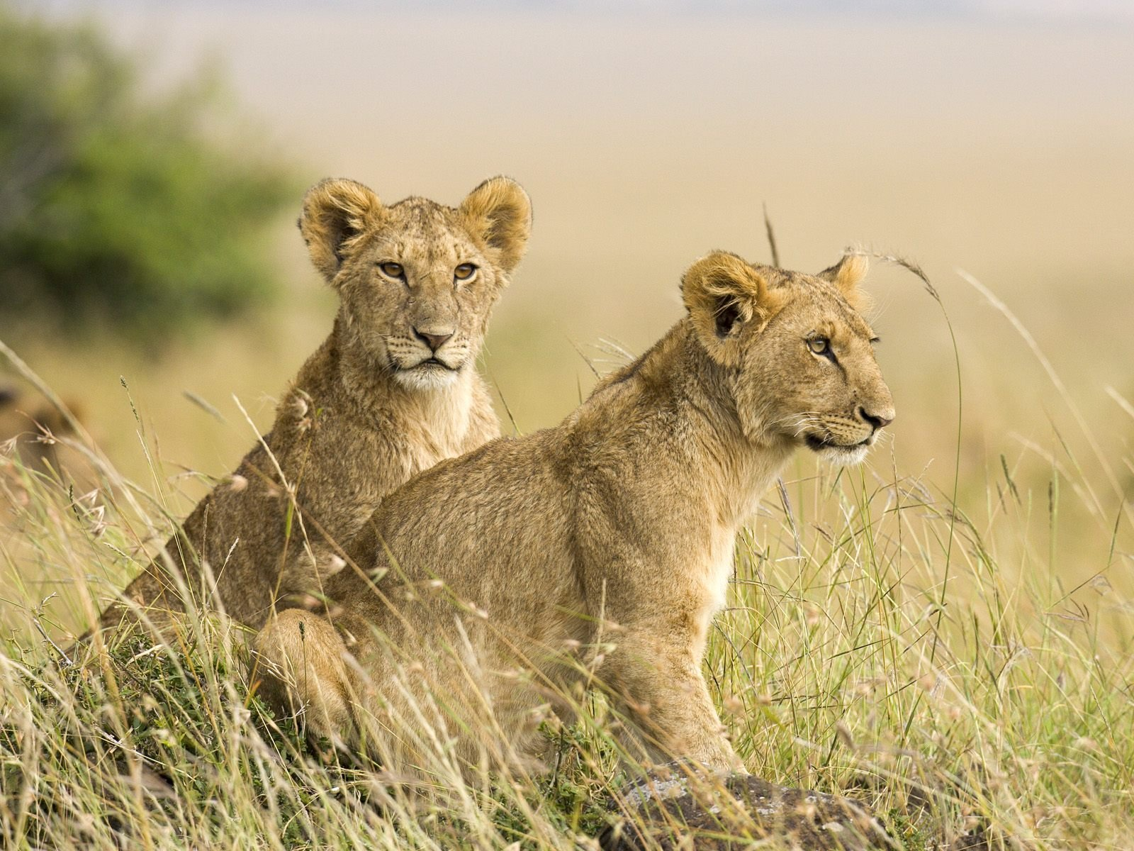 download lion cubs wallpaper which is under the lion wallpapers 1600x1200