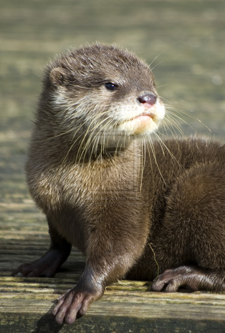 baby otter   cute by photographybypixie 900x1334