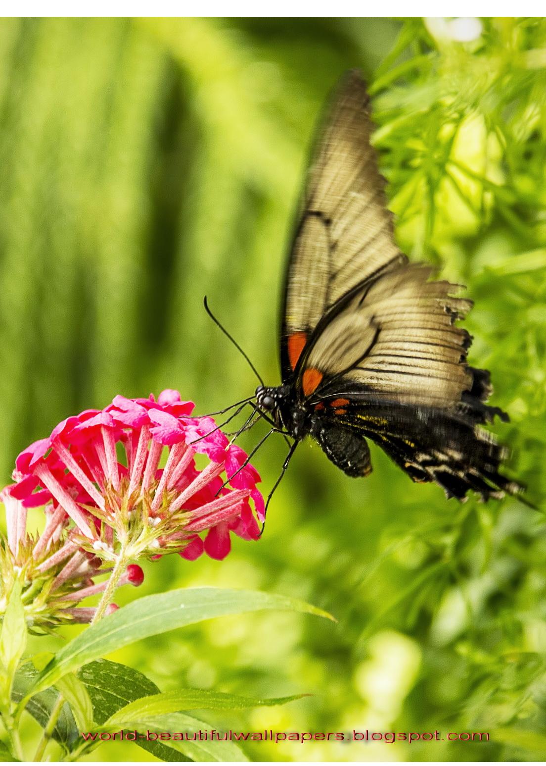 Beautiful Wallpapers Beautiful Butterflies Wallpaper 1104x1547