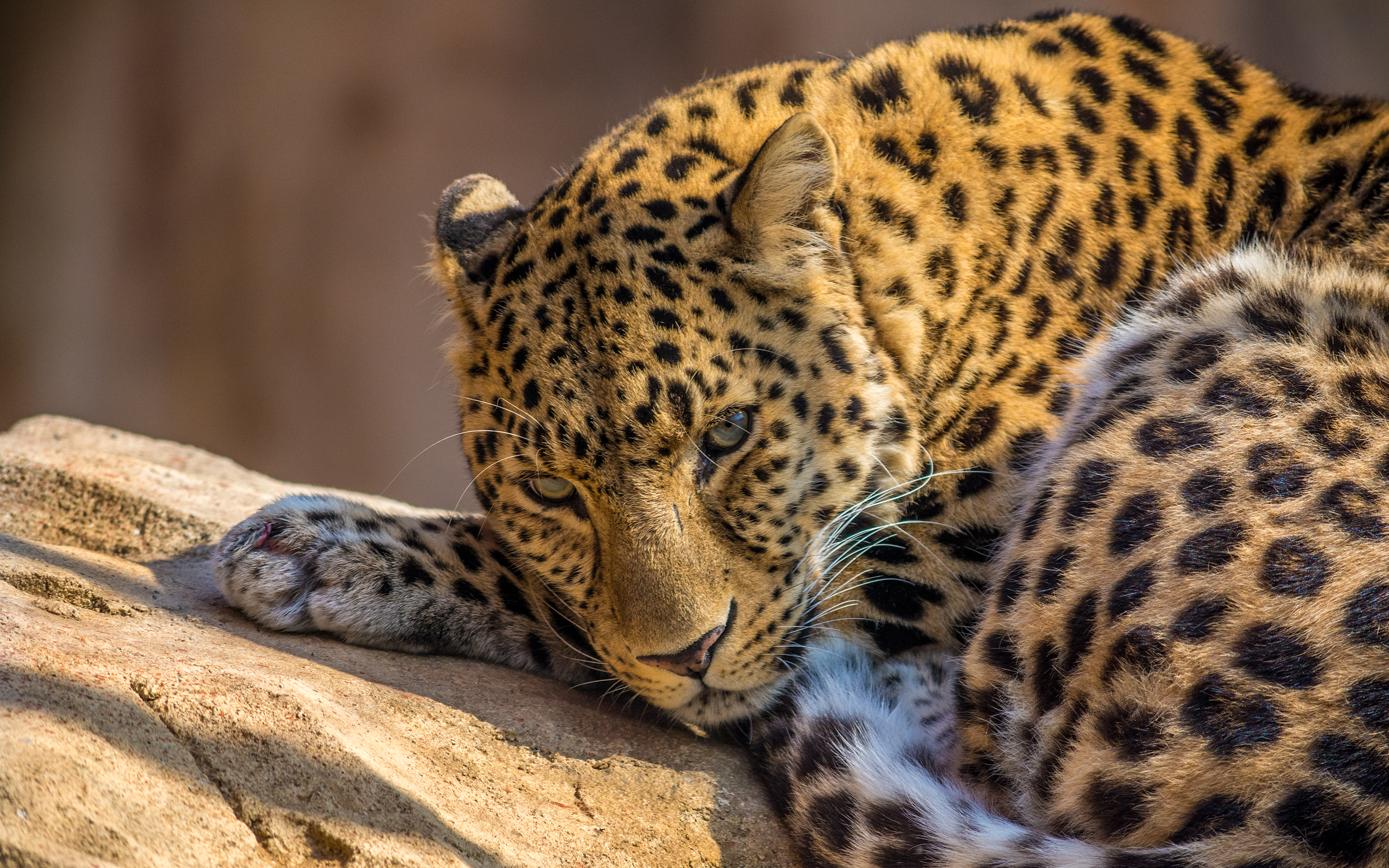 Lazy Leopard Exclusive HD Wallpapers 6228 2880x1800