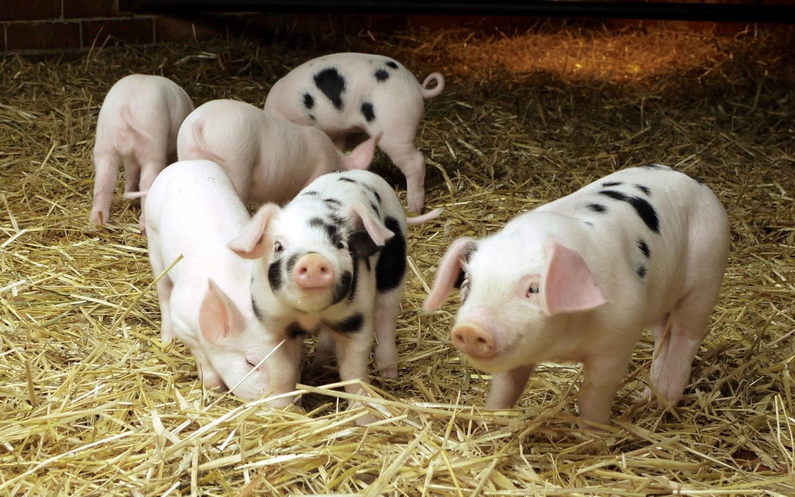 Cute Pigs Mystery Wallpaper 1600x1000