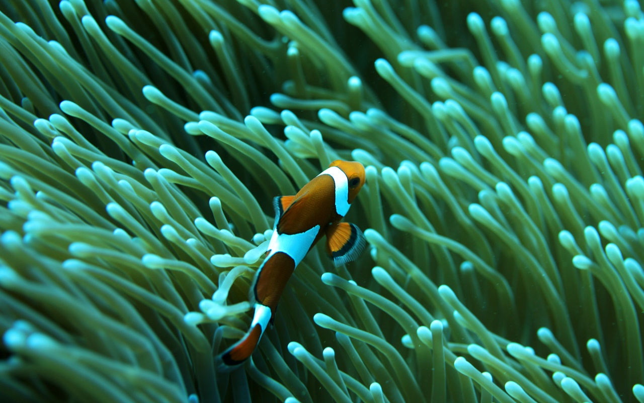 Clown Fish HD Background chillcovercom Underwater Clown Fish HD 1280x800