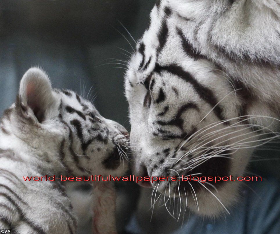 Beautiful Wallpapers white bengal tiger pictures 964x806
