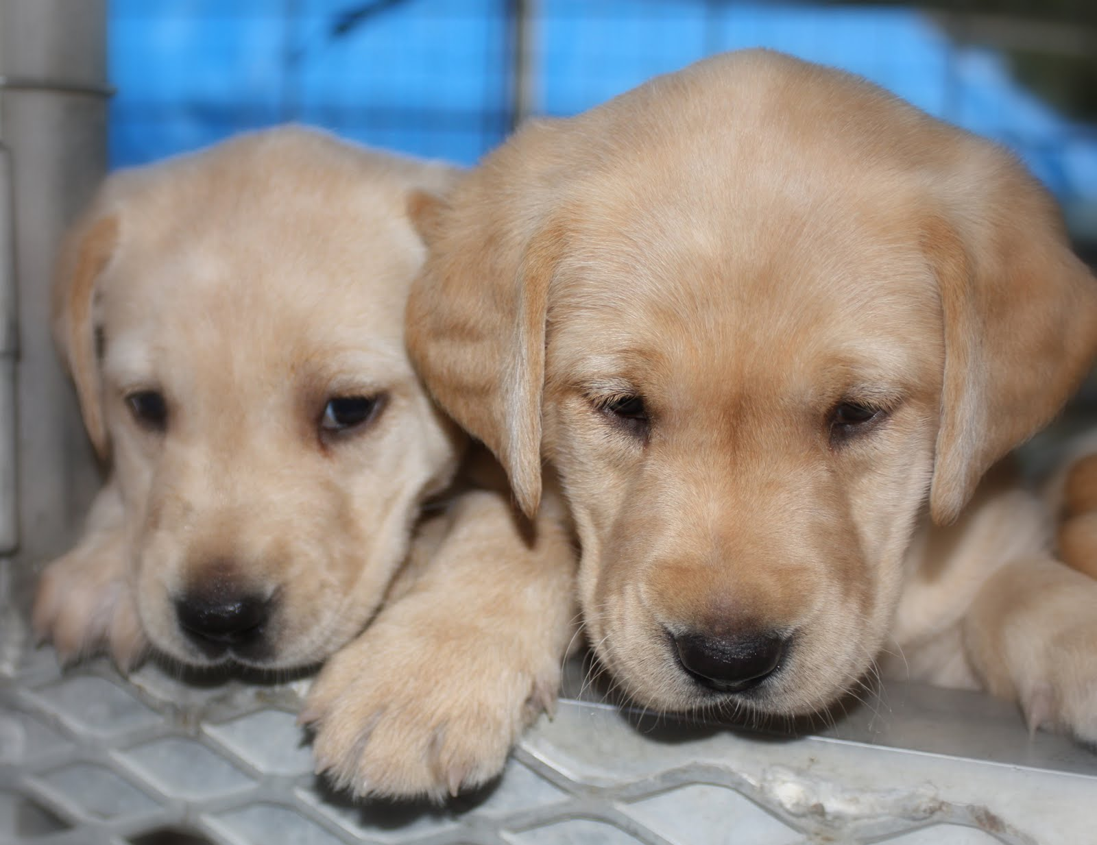 922026 Yellow Labrador Retriever Puppies 922068 Yellow Labrador 1600x1233