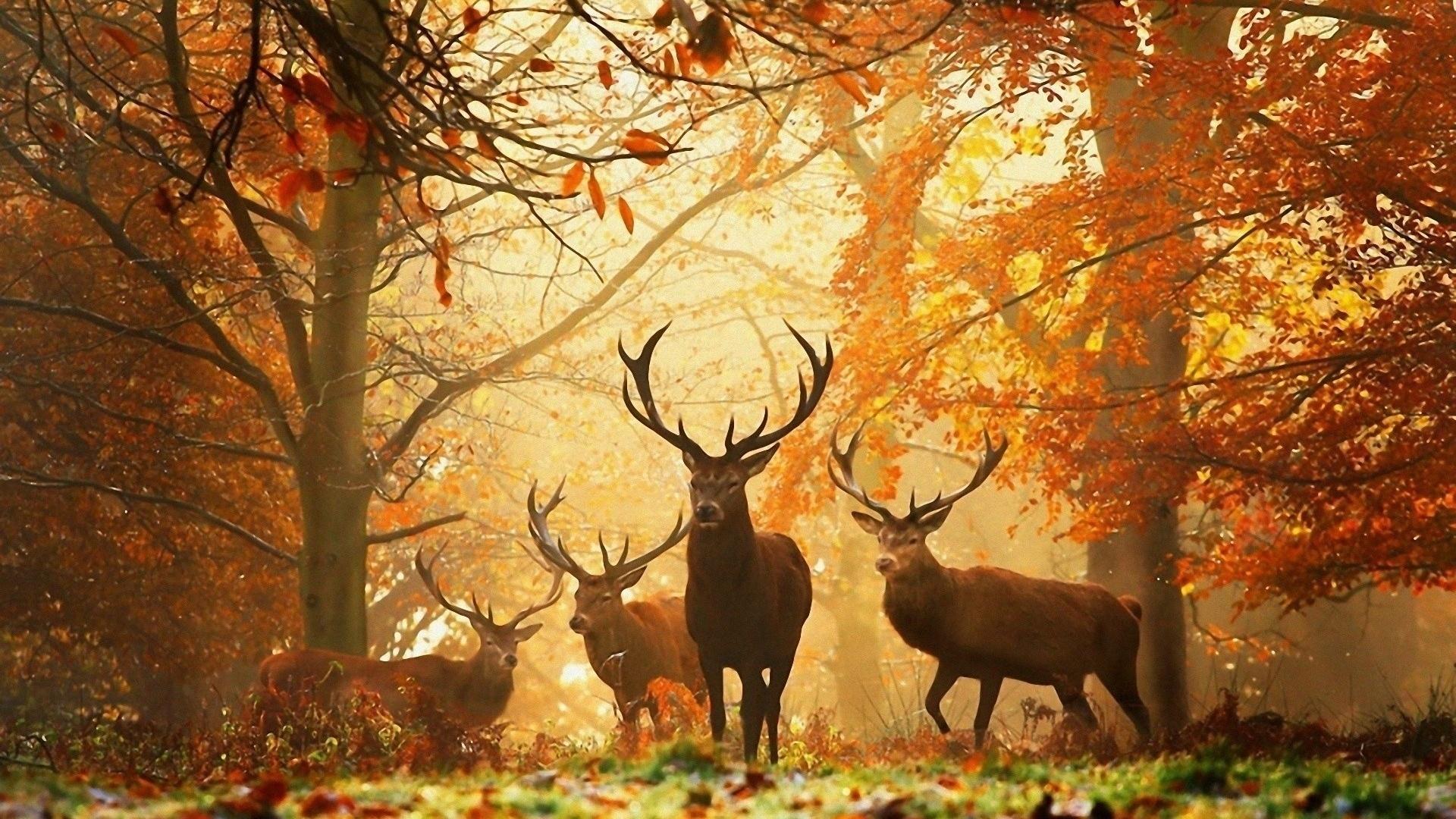 Image for Wild Deer Animal Desktop Wallpaper 1920x1080