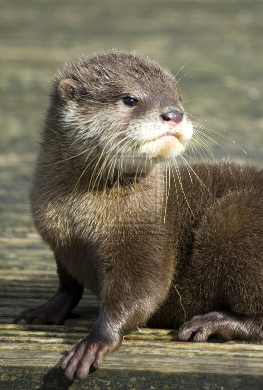 Free Download Cute Otter Drawing Hd Wallpaper Background