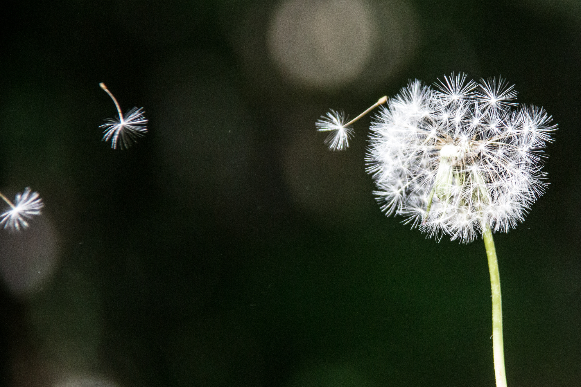Flying Dandelion HD Wallpaper | Flowers Wallpapers