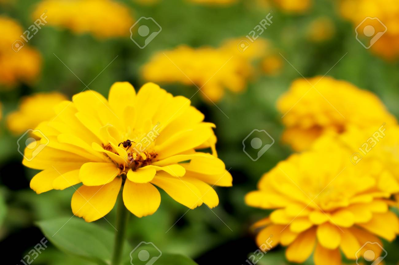 Close Up Yellow Or Orange Colors Of Zinnia Elegans Flowers On 1300x866