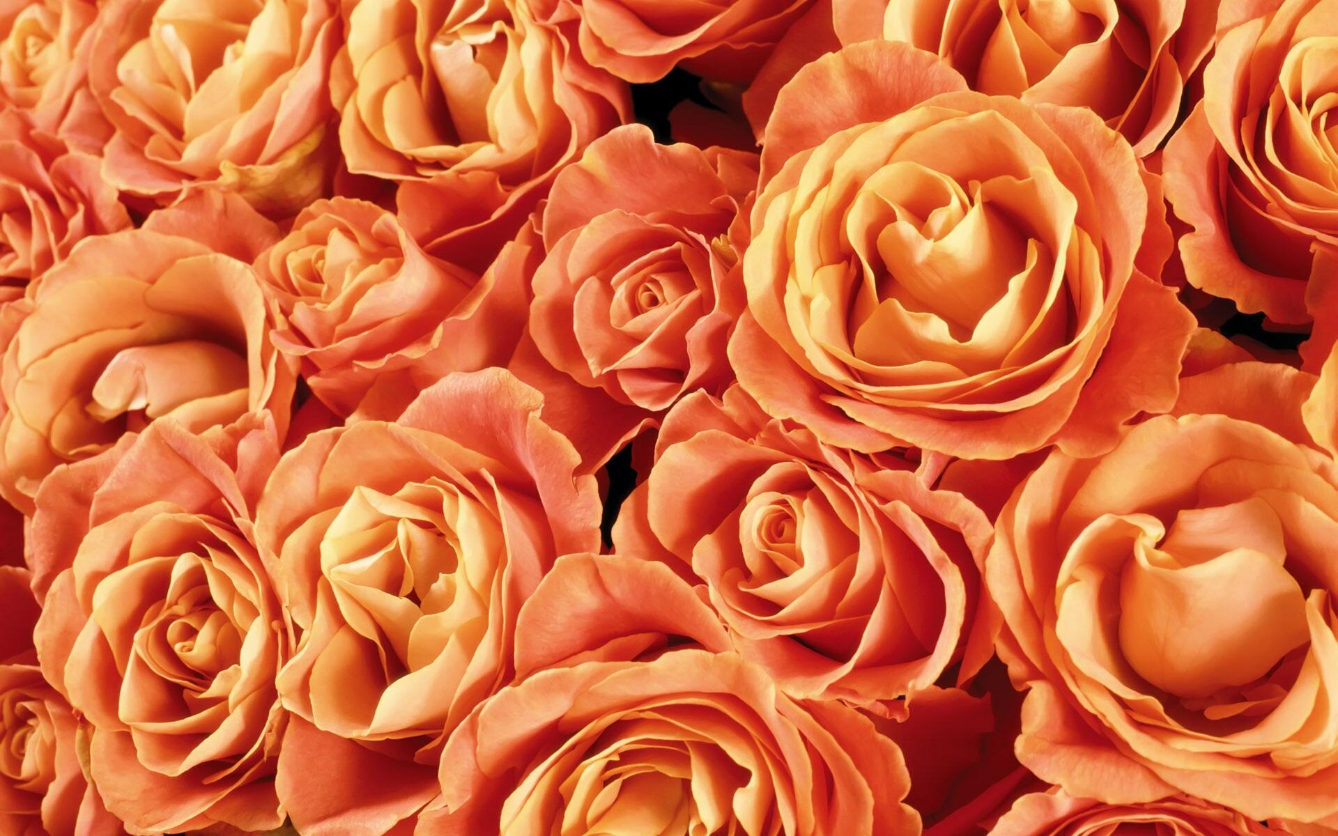 Orange Roses Backgrounds   Wallpaper High Definition High Quality 1920x1200