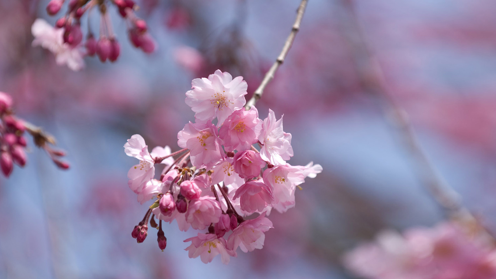 Sakura pink full hd wallpaper Flower spiring wallpaper 1920x1080