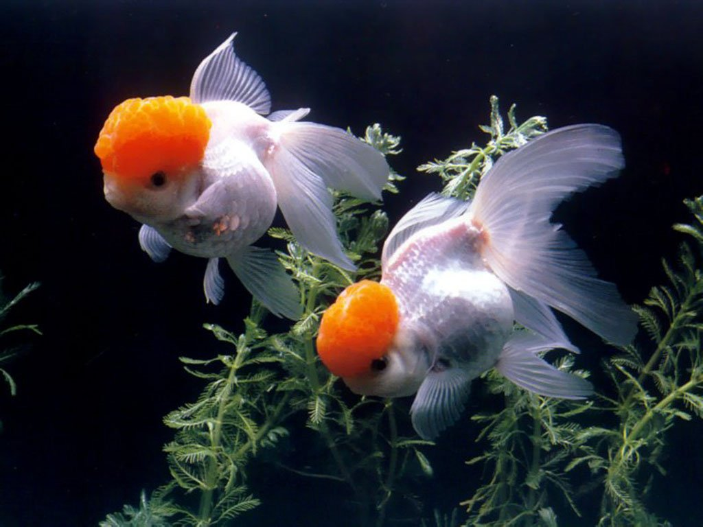 Goldfish Wallpaper Desktop Amazing Wallpapers 1024x768