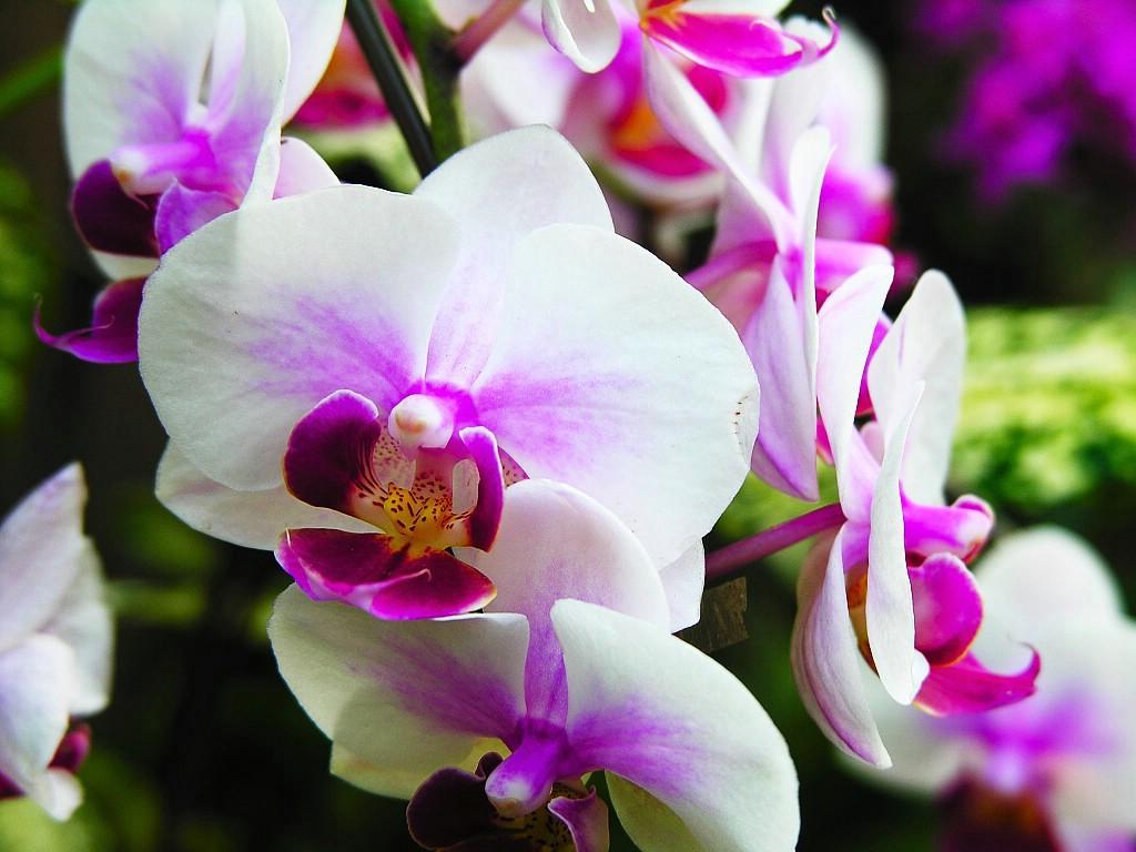 Orchid wallpaper for desktop wallpapersafari - White orchid flowers desktop wallpapers ...