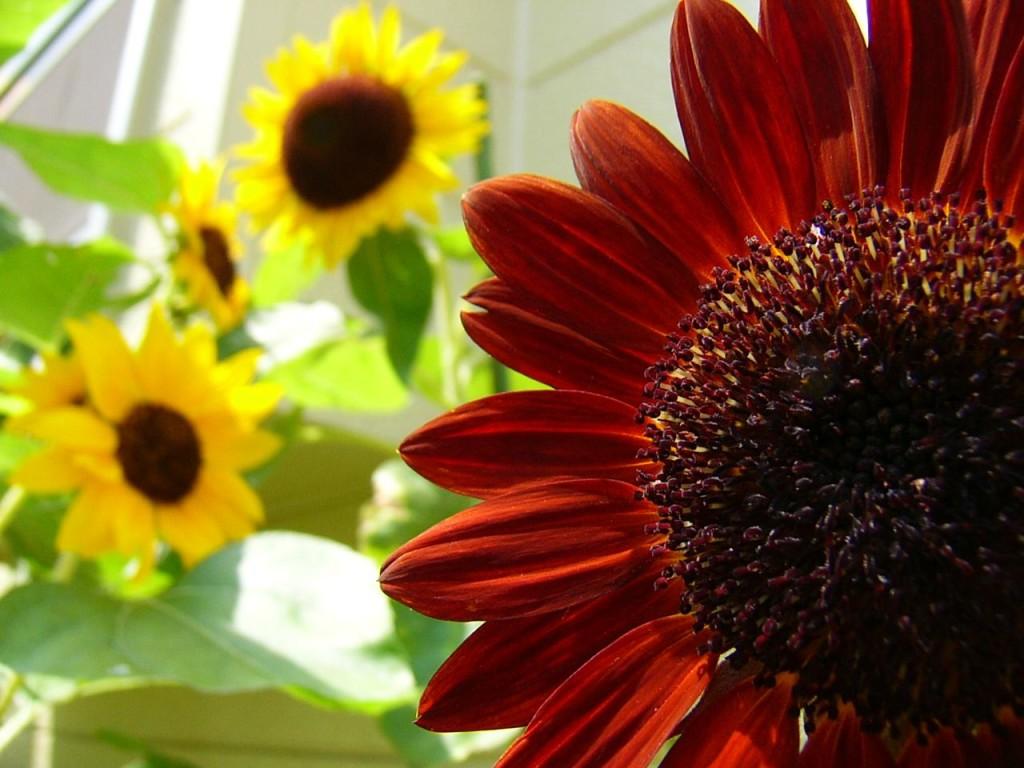 Sunflowers Colors Sunset Spring Flower Desktop Wallpaper Best Of