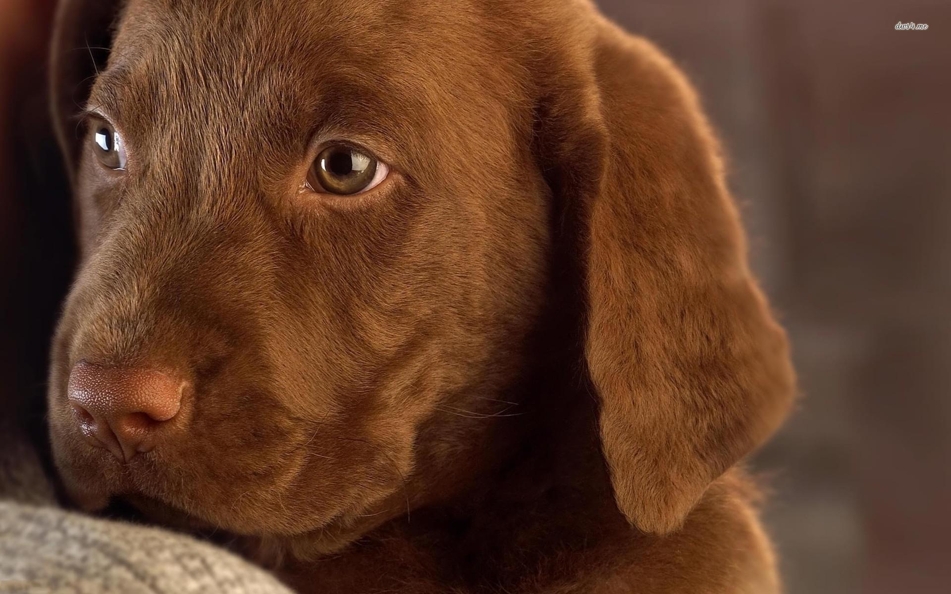 Chocolate labrador puppy wallpaper   Animal wallpapers   15945 1920x1200