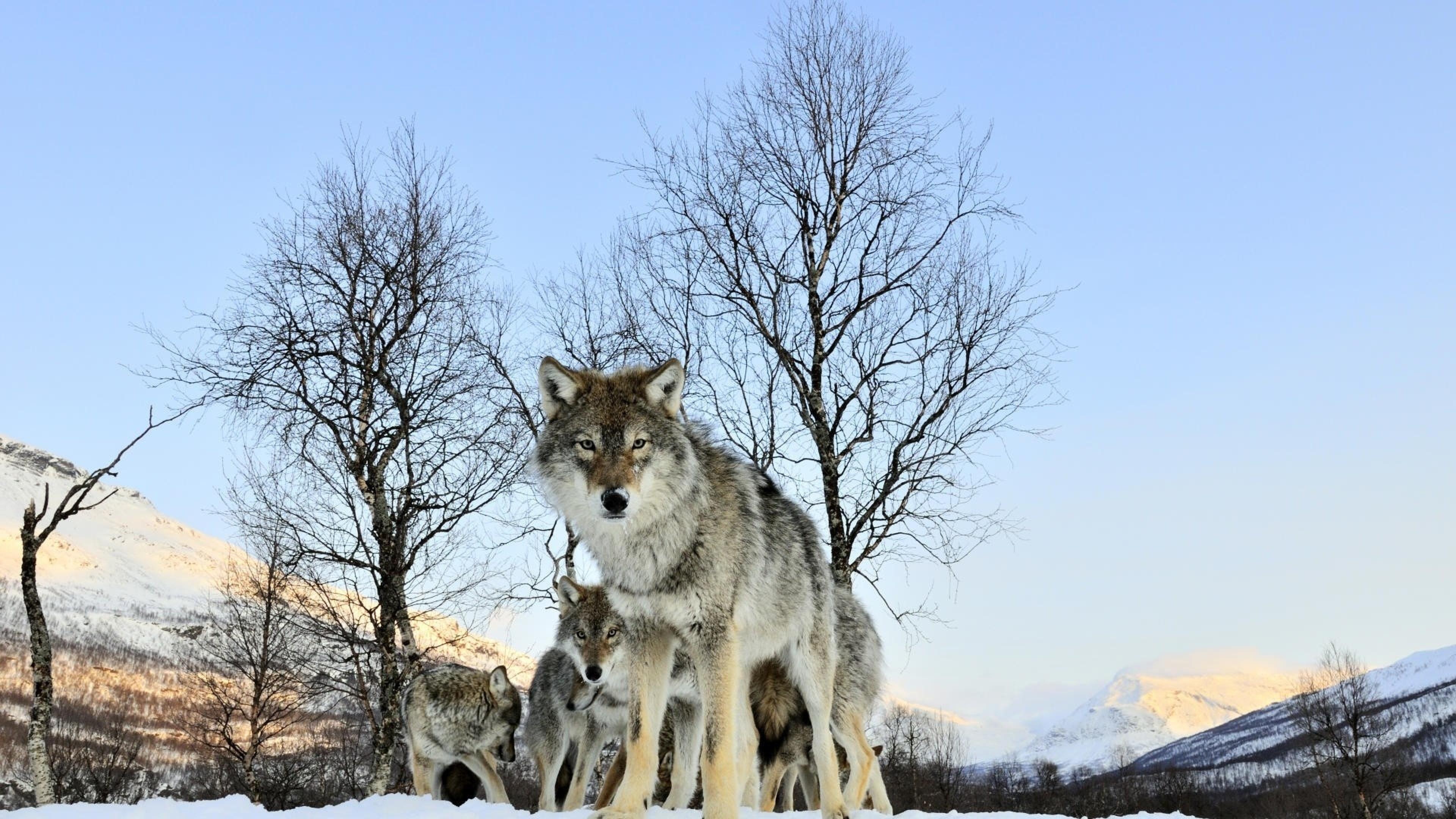 4K Wolf Wallpaper - WallpaperSafari