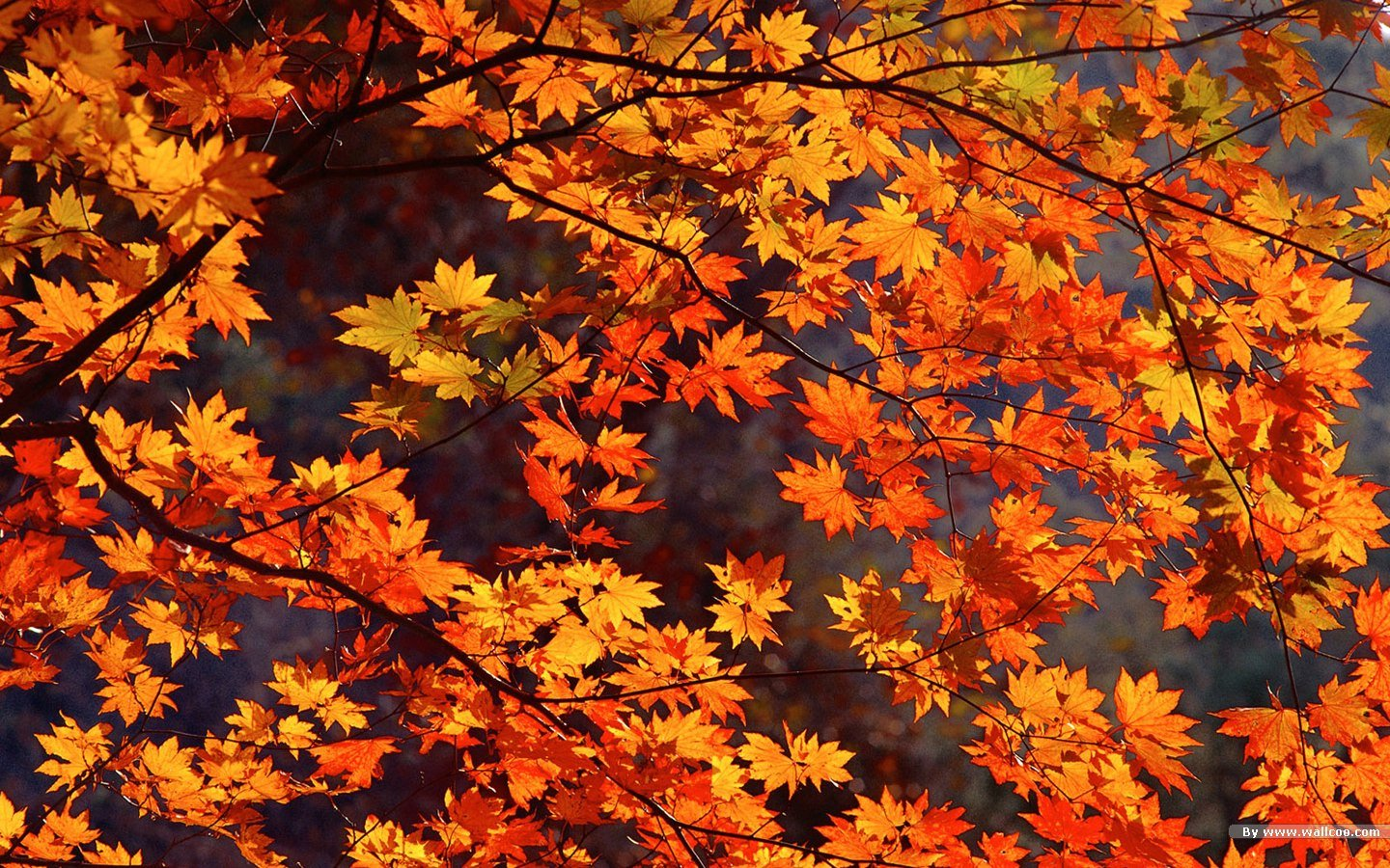 Autumn tints   Beautiful Fall leaves Widescreen wallpapers 1440900 NO 1440x900
