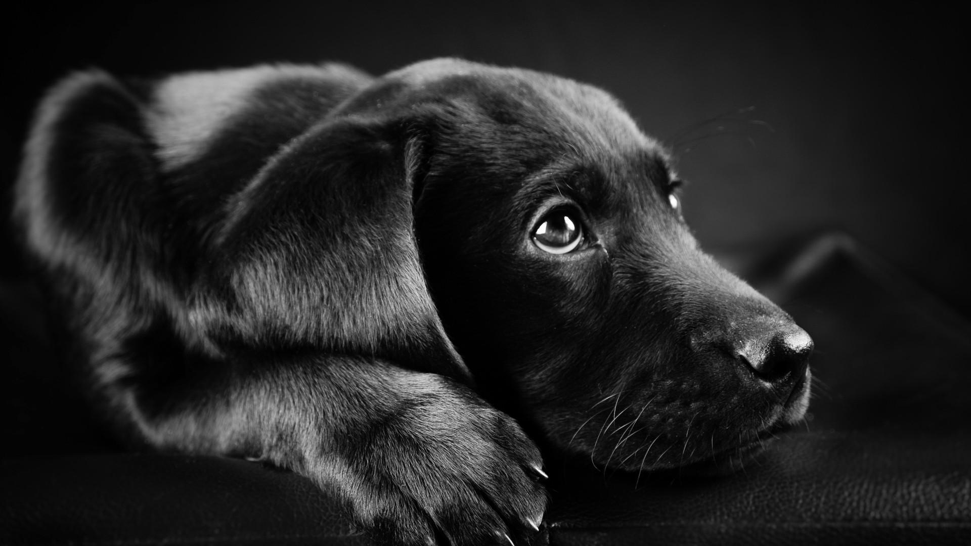 dog Animals Labrador Retriever Black Puppies Closeup 1920x1080