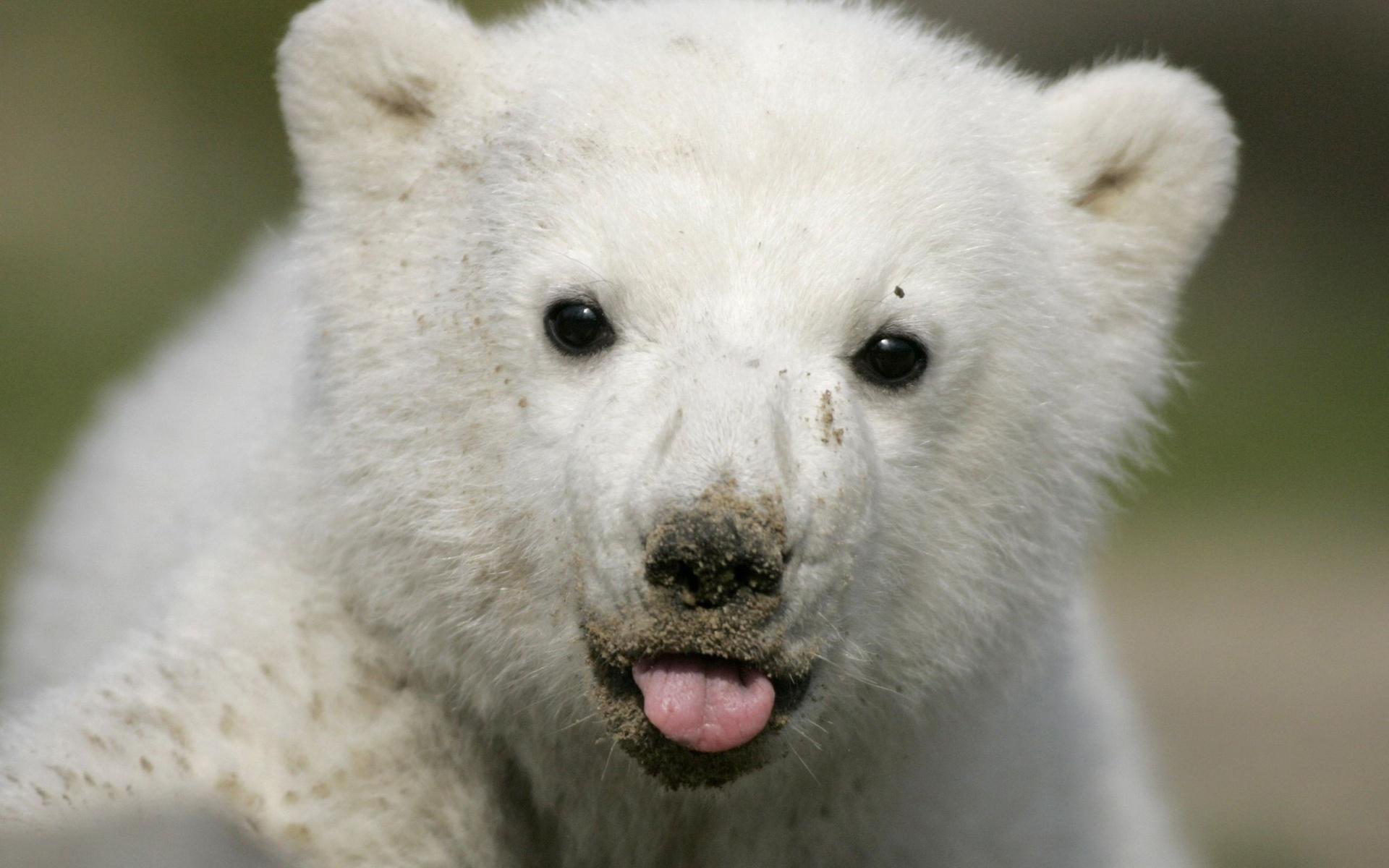 Wallpaper Abyss Explore the Collection Bears Animal Polar Bear 331358 1920x1200