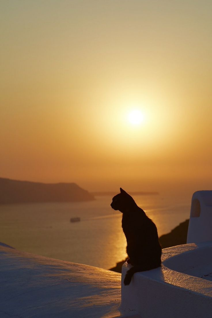 At Santorini Greece Cats Crazy cats Cat wallpaper 736x1104