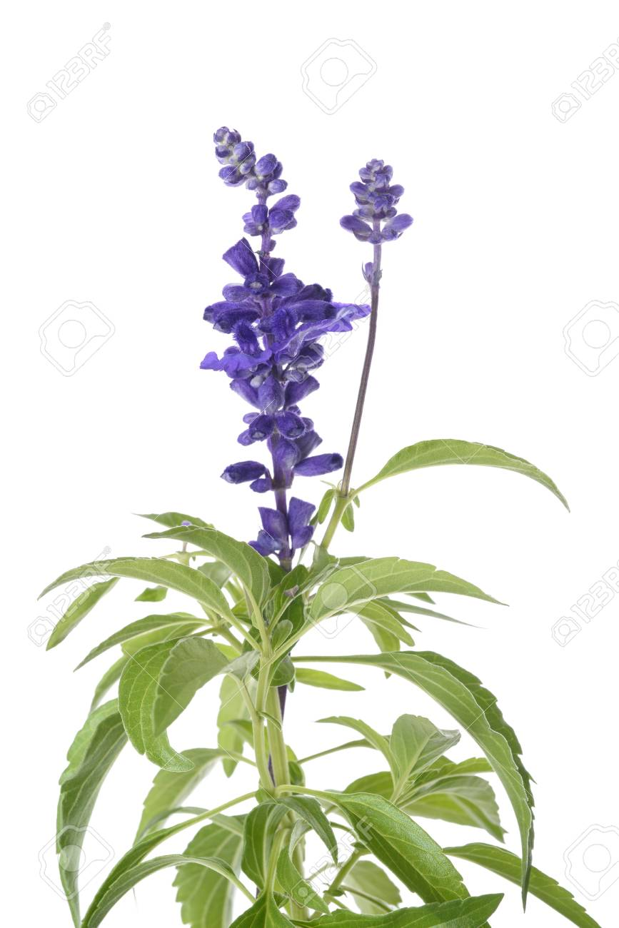 Salvia Farinacea With Flowers Isolated On White Background Stock 867x1300