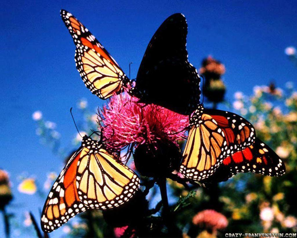 Monarch Butterfly Wallpapers 1024x819