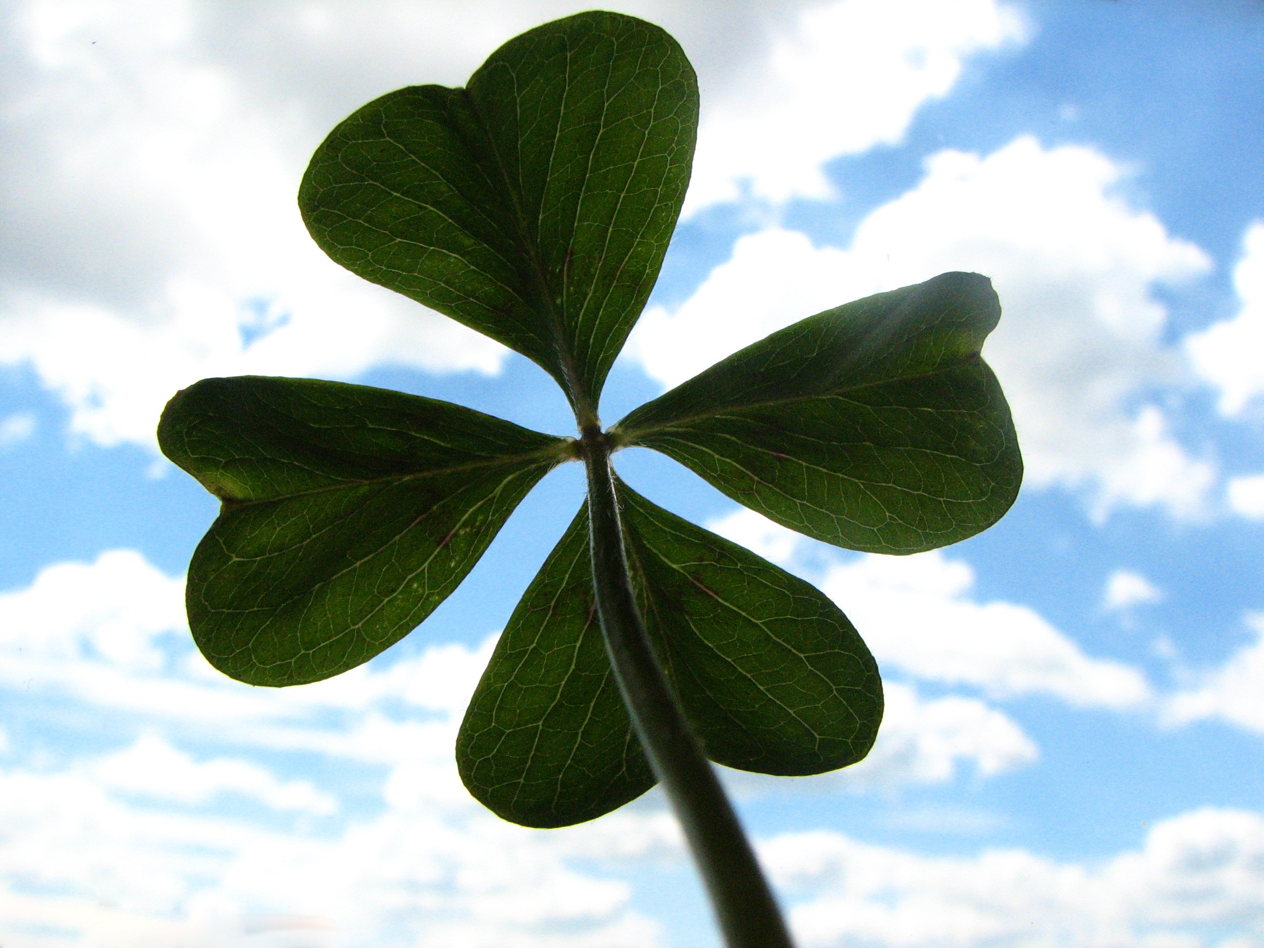 212 The Clover Four leaf Flower Images 2592x1944