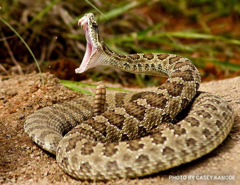 Top 10 Most Dangerous Venomous Snakes Of The World The Wildlife 768x593