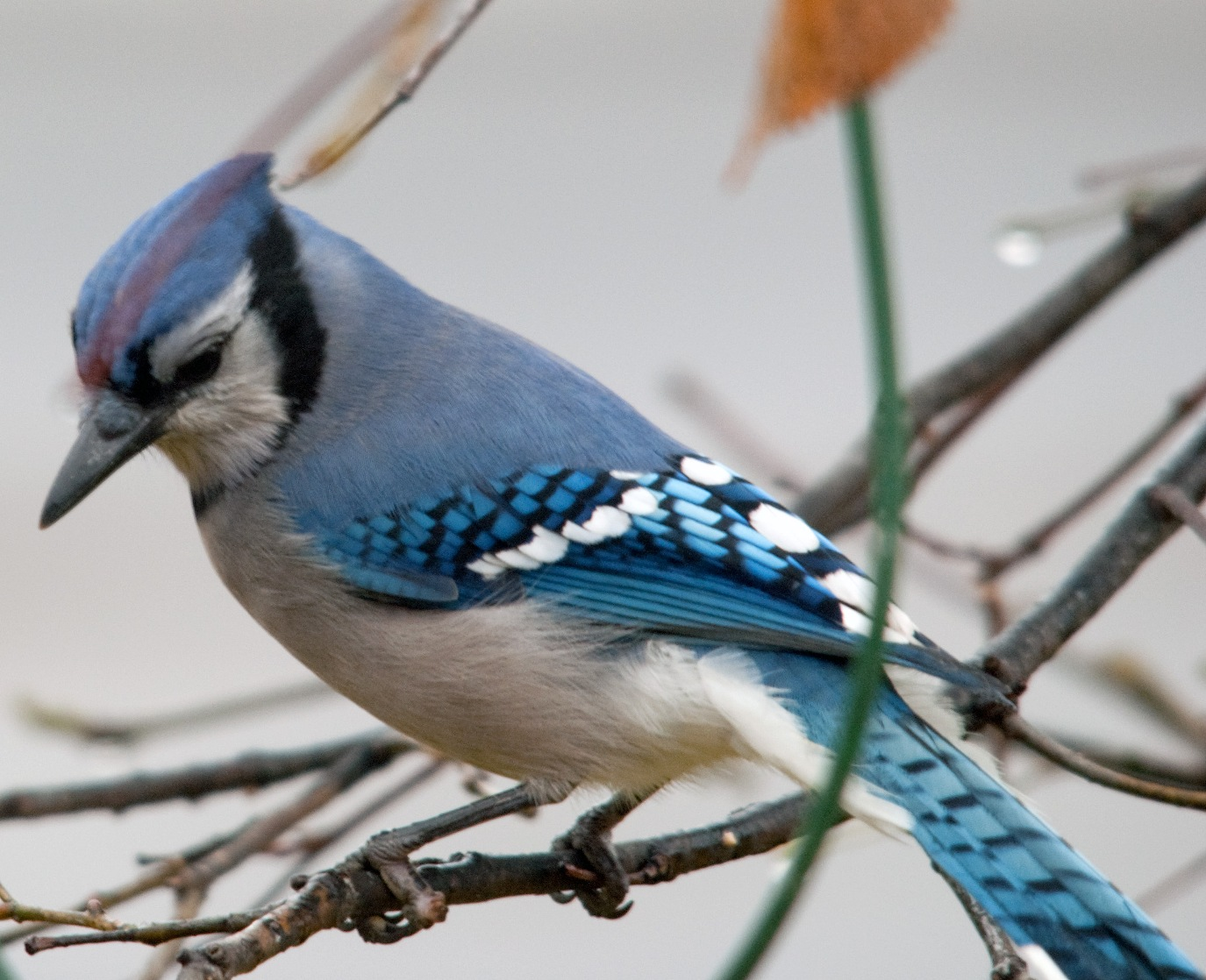 Blue Jay Hd Wallpapers   1375x1118 iWallHD   Wallpaper HD 1375x1118