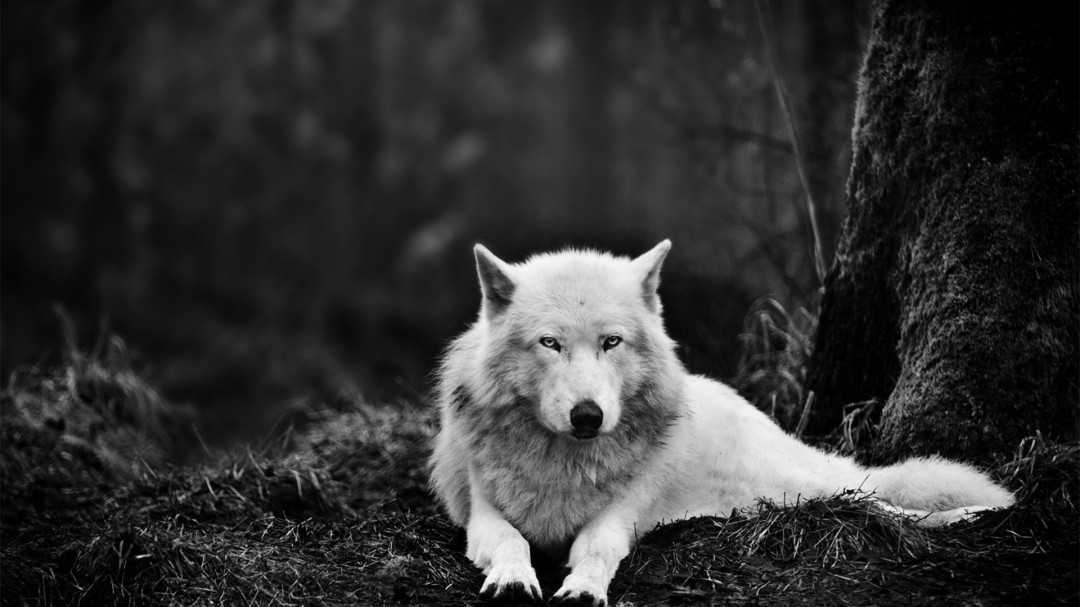 Wolf White Wolf Pictures HD Wallpaper HD Wallpaper of 1080x607