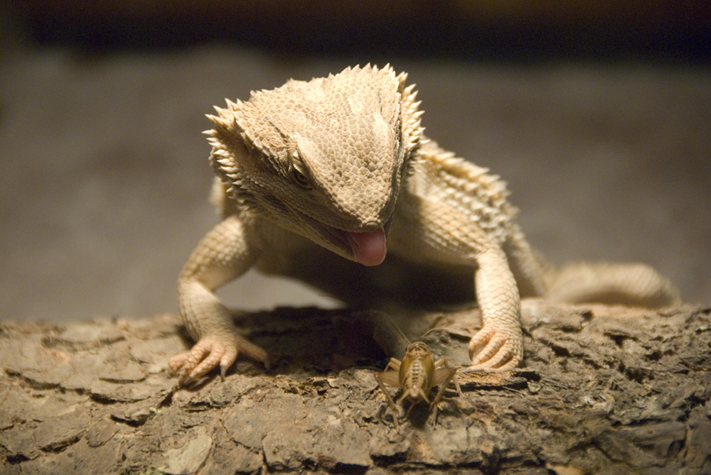 Funny Bearded Dragon Wallpapers - WallpaperSafari